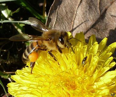 abeille butinant un pissenlit les pattes pleine de pollen jardin route de l`Isle JourdainGF(2) (1)
