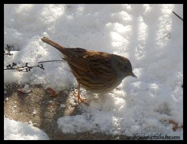 Les oiseaux de nos jardins sandrinephotos esprit nature for Passereaux des jardins
