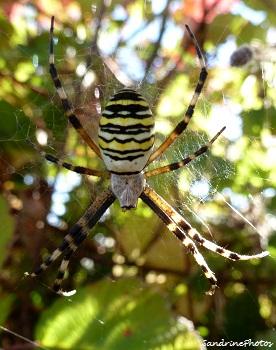 Araignée Argiope bruennicchi-Wasp spider, black and yellow spider of the gardens, araneidae, Bouresse, Poitou-Charentes