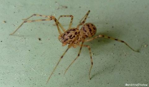 Araignée Scytodes thoracica, Scytodidae, Spiders, Bouresse, Poitou-Charentes(6)
