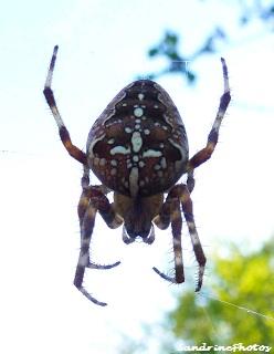 Araneus diadematus- Epeyre diadème-Araneidae-Diadem spider on its web-European garden spider-Bouresse Poitou-Charentes