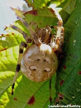 Araneus quadratus femelle, Araneidae, araignée des jardins, Four-spot orb-weaver spider, Female garden spider-Bouresse, Poitou-Charentes(5)
