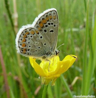 Azuré commun Argus bleu Polyommatus icarus papillon du Poitou-Charentes Bouresse
