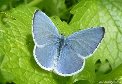 Azuré des Nerpruns, Celastrina argiolus, papillons de jour, Moths and butterflies of France, Bouresse, Poitou-Charentes, le 20 avril 2013