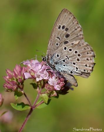Azuré du serpolet, Phengaris arion, Lycaenidae, Papillon de jour, Le Verger, Bouresse 86