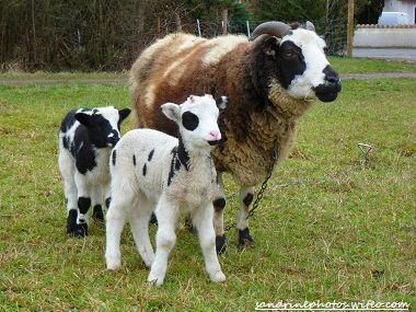 brebis de Jacob et ses agneaux