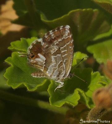 Brun des Pelargoniums, Cacyreus marshalli, Lycaenidae, Thècle sur Géranium, Papillon de jour, Mothes and Butterflies, Poitiers (5)