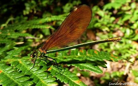 Caloptérix vierge femelle, Libellules, odonates, insectes, dragonflies, Bouresse, Poitou-Charentes