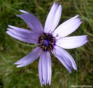 Catanache bleue, Catananche caerulea, Fleurs sauvages mauves, Entrevaux 29 juillet 2013, Alpes de Hautes Provence