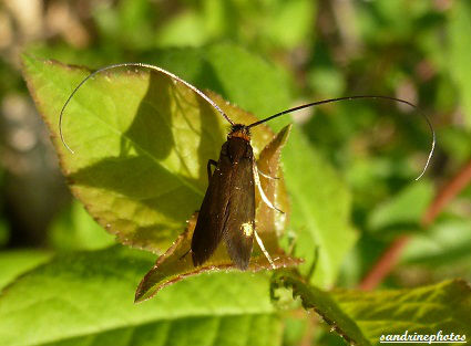 Cauchas rufimitrella famille des adelidae papillon (1)