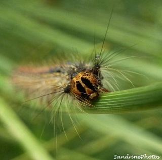 Chenille de Bombyx disparate, Lymantria dispar caterpillar, Papillons de nuit, Moths, Lymantriidae, Bouresse, Poitou-Charentes 6 juin 2012