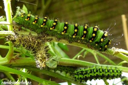Chenilles de petit paon de nuit (4ème mue) Chenilles et papillons de nuit 17 juin 2012 Bouresse Poitou-Charentes