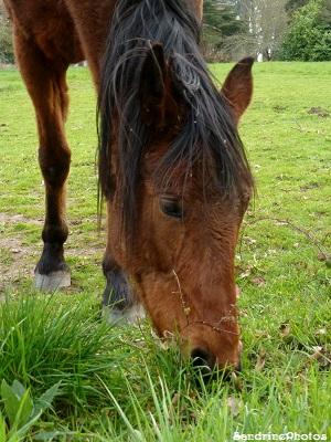 Cheval marron mangeant de l`herbe dans un champ, Brown horse in a field eating grass, Bouresse, Poitou-Charentes avril 2013 (34)