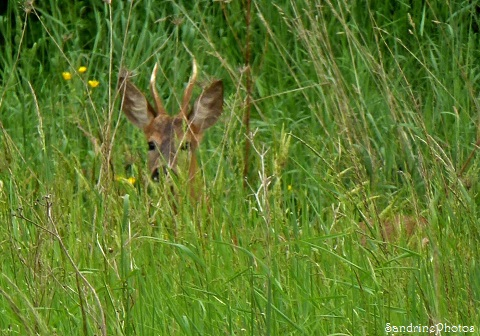 Chevreuil au jardin, A roe deer in the garden, Animaux sauvages, Bouresse, Poitou-Charentes, 11 mai 2013 (56)