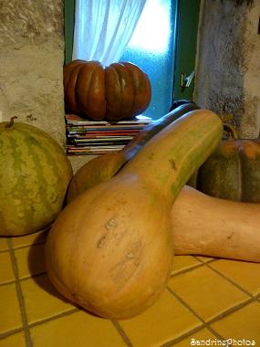 Courge longue de Nice, Cucurbitacées, courges, citrouilles et potirons, Bouresse, Poitou-Charentes, 2013 (12)