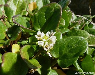 Cranson officinal Cochlearia officinalis Bretagne Château du Taureau baie de Morlaix Finistère, fleurs sauvages des côtes bretonnes, Brittany coasts wild flowers, SandrinePhotos