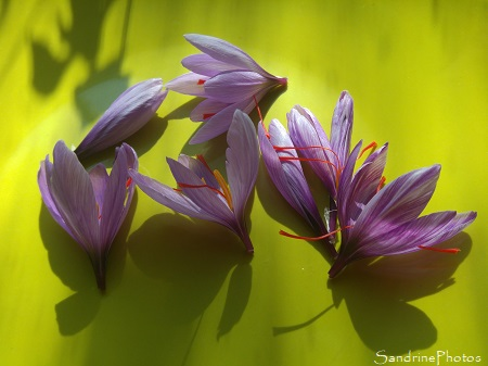 Crocus à Safran, Crocus sativus, fleurs mauves, épices, le Verger, Bouresse, Sud-Vienne (1)