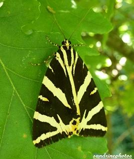 écaille chinée, Euplagia quadripunctaria, Papillon de nuit, Moth, Frenche butterfly, Bouresse Poitou-Charentes