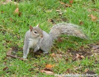 Ecureuil dans Hyde Park Londres mars 2012 (61)