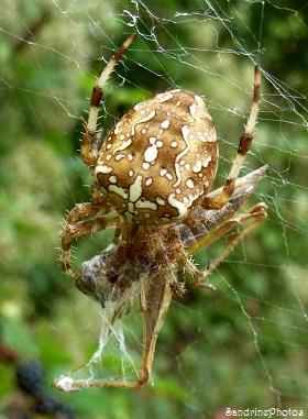 Epeire diadème, Arachnides, Bouresse, Poitou-Charentes, Jardin 21 septembre 2013 (37)