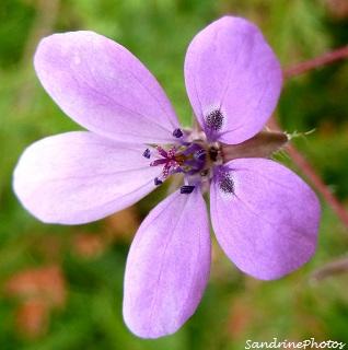 Erodium à feuilles de cige, Bec-de-grue commun, Erodium cicutarium-Fleurs sauvages-Bouresse Poitou-Charentes (1)