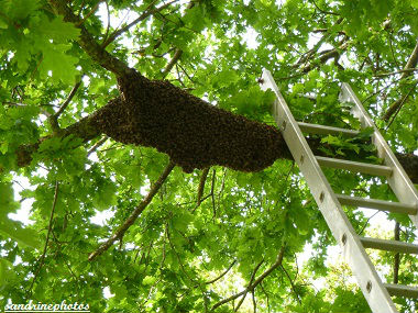 Essaimage du vendredi 11 mai 2012 avec M.Philippe Giraud apiculteur à Bouresse-Poitou-Charentes (26)