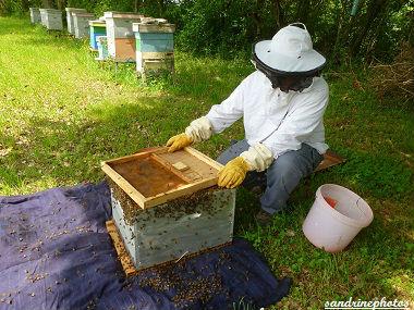 Essaimage du vendredi 11 mai 2012 avec M.Philippe Giraud apiculteur à Bouresse-Poitou-Charentes (35)