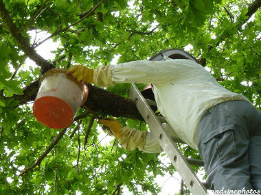 Essaimage du vendredi 11 mai 2012 avec M.Philippe Giraud apiculteur à Bouresse-Poitou-Charentes (63)