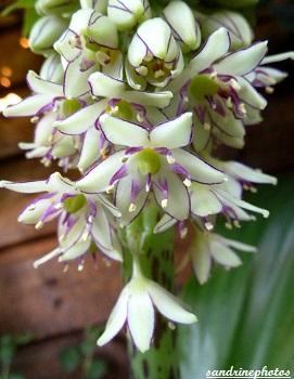 eucomis punctata en fleur, fleur exotique d`Afrique du Sud, Exotic flower, Lilly-flower, Sandrinephotos