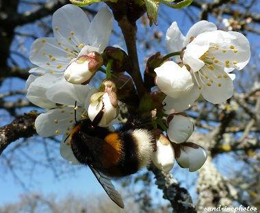 Fleurs de cerisier butinées par un beau bourdon arbres fruitiers