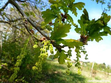 Fleurs de chêne pédonculé Quercus robur Quercus pedonculata Arbres et arbustes du Poitou-Charentes Bouresse