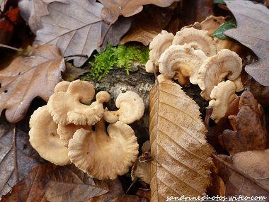 Forêt de Gouex Panelles styptiques 5 décembre 2011 (17)