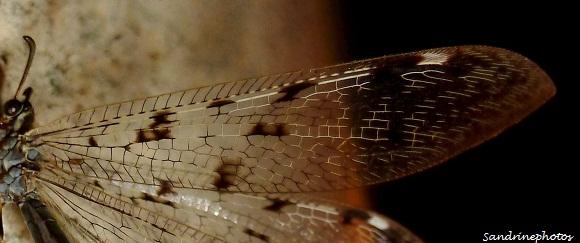 fourmilion longicorne -Distoleon tetragrammicus -Myrmeleontidae, Névroptères-Bouresse, Poitou-Charentes Sandrinephotos (6)