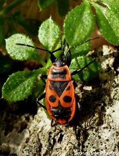 gendarme, Pyrrhocoris apterus, adult Fire bug Insectes, Bouresse, Poitou-Charentes (1)