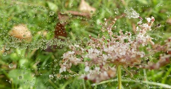 Gouttes d`eau sur toile d`araignée et carotte sauvage, Raindrops, Bouresse, Poitou-Charentes