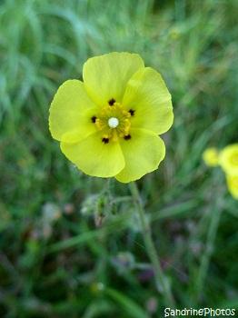 Hélianthème à gouttes Tuberaria guttata, Fleurs sauvages des côtes bretonnes, Brittany coasts wild flowers, Bretagne, SandrinePhotos (7)