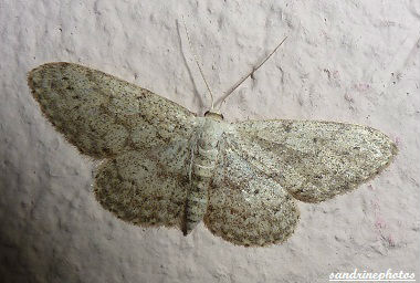 Idaea Seriata Papillon de nuit Bouresse Poitou-Charentes