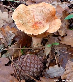 Lactaire délicieux- Lactarius deliciosus, Champignons, mushrooms, Bouresse Poitou-Charentes 28 nov 2011 (51)
