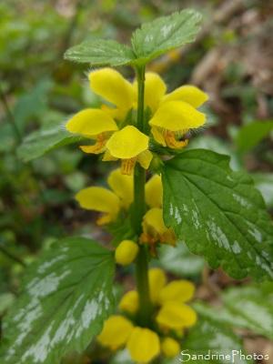 Lamier jaune, Ortie jaune, Lamier doré, Lamiastrum galeobdolon ssp. argentatum, Queaux, bords de la Vienne, Biodiversité du Sud-Vienne 86 (1)