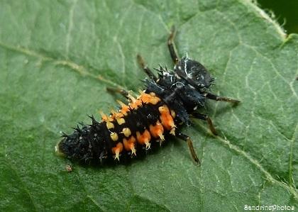 Larve de coccinelle asiatique, Asian Ladybird larva, Coléoptères,Bouresse, Poitou-Charentes (3)