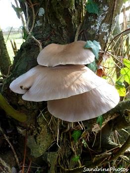 Le Pleurote en forme d`huître. Pleurotus ostreatus. Champignon basidiomycète Bouresse, Poitou-Charentes 23 décembre 2012 (9)