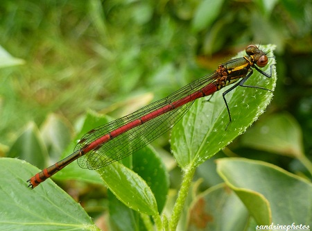 libellule rouge nymphe au corps de feu Pyrrhosoma nymphula Demoiselle Odonates insectes du Poitou-Charentes Bouresse GF