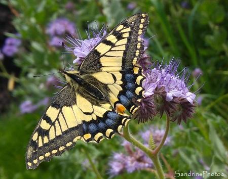 Machaon, papillon de jour, Papilionidae, Bouresse, le Verger 86