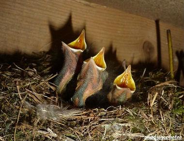 Nid de fauvette à tête noire et 4 petits oisillons affamés