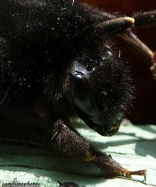 Oeil de bourdon insectes (1)