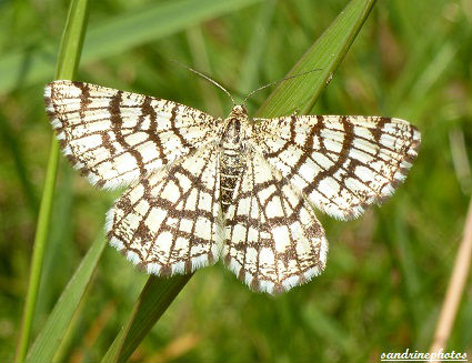 Papillon Géomètre à barreaux Chiasmia Clathrata Papillons du Poitou-Charentes Bouresse (2)