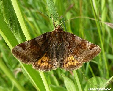 Papillon La doublure Jaune-Euclidia glyphica Papillon du Poitou-Charentes Bouresse (2)