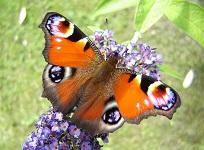 Papillons Poitou-Charentes