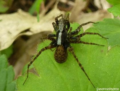 Pardosa lugubris, Lycosidae, Araignées mâle et femelle enlacées, Bouresse, Poitou-Charentes