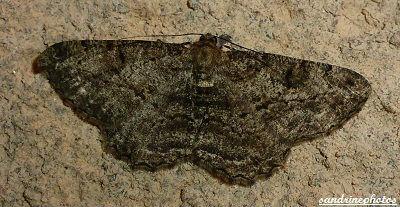 Peribatodes rhomboidaria Boarmie rhombodale Géométridés Papillon de nuit Bouresse Poitou-Charentes